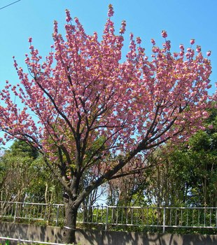 新河岸の桜 (14).jpg