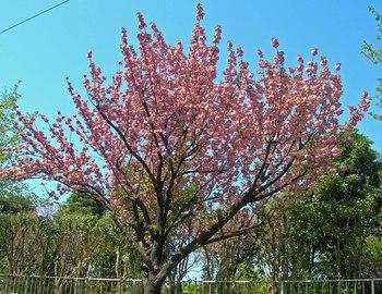 新河岸の桜 (15).jpg