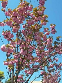 新河岸の桜 (2).jpg