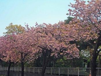新河岸の桜 (3).jpg