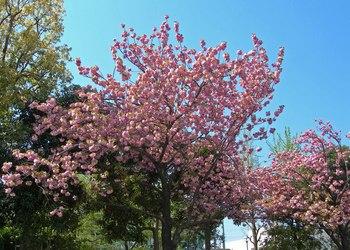 新河岸の桜 (4).jpg