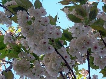 新河岸の桜 (5).jpg