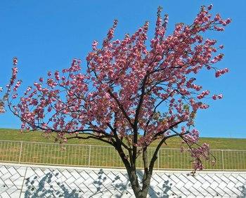 新河岸の桜 (6).jpg