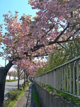 新河岸の桜 (7).jpg