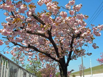 新河岸の桜 (8).jpg
