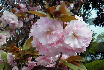 東京の花(07).JPG