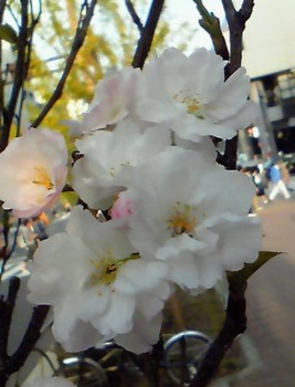 東京の花(08).JPG