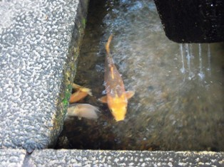 石山寺24手水舎の鯉.JPG