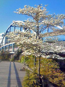 舟渡大橋とハナミズキ.JPG