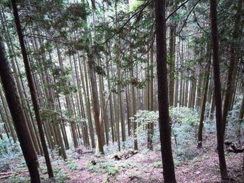 鞍馬寺奥の院22杉木立.JPG