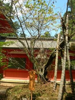 香取神宮(15)黄門桜.JPG