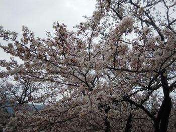 開山03(山頂の桜).jpg